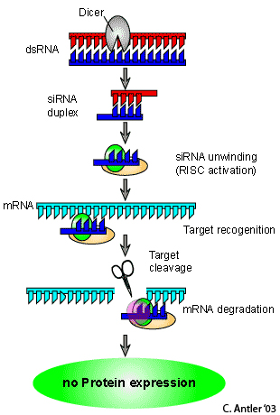 RNA Interference as an investigative & therapeutic tool for